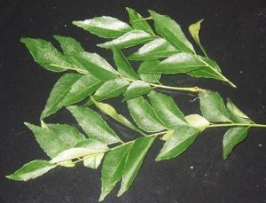 Curry-Leaves-for-Hot-and-Spicy-Squids-Recipe.
